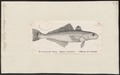 Eleginus maclovinus - 1700-1880 - Print - Iconographia Zoologica - Special Collections University of Amsterdam - UBA01 IZ13200071.tif