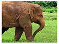 Elephant d'Asie (Elephant nature park, Thaïlande).jpg