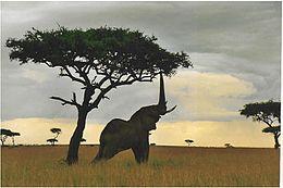 Kenya'da yapraklara ulaşmaya çalışan bir fil