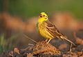Emberiza citrinella vogelartinfo chris romeiks CHR1540.jpg