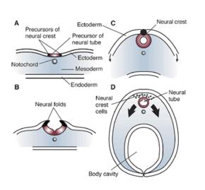 Neural fold - Wikipedia