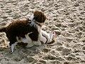 Emma spanish waterdog 1.jpg