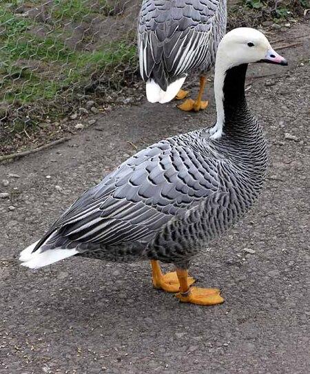 Emperor.goose.arp.750pix.jpg