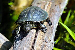 European pond turtle - In Donau-Auen, Austria