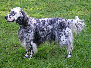 English Setter - A blue belton English Setter