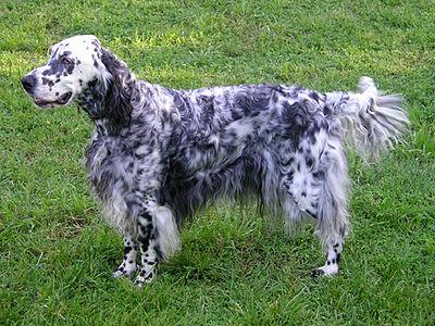 犬の品種一覧 - Wikiwand