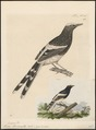 Enicurus leschenaultii - 1700-1880 - Print - Iconographia Zoologica - Special Collections University of Amsterdam - UBA01 IZ16300133.tif