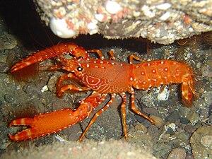 Reef lobster - Enoplometopus antillensis