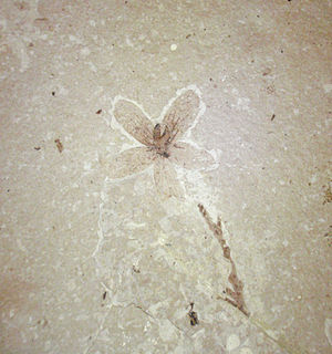 English: Fossil flower, collected August 2010,...