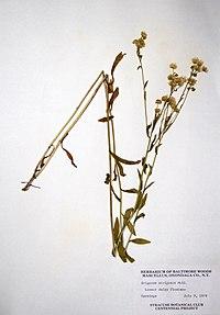 Erigeron strigosus BW-1979-0709-9941.jpg