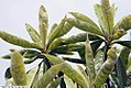 Eriobotrya japonica 5zz.jpg