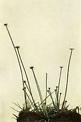 Eriocaulon aquaticum WFNY-006A.jpg