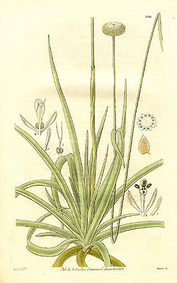 meaning of eriocaulaceae
