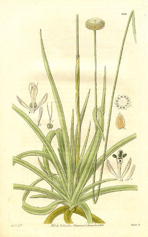 Eriocaulaceae - Image: Eriocaulon decangulare (1832)
