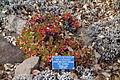 Eriogonum umbellatum var. torreyanum - Regional Parks Botanic Garden, Berkeley, CA - DSC04467.JPG