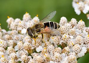 Achillea millefolium - Pollination