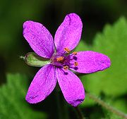 Erodium January 2008-4.jpg