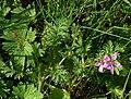 Erodium cicutarium Peltokurjennokka - H9532 C.jpg