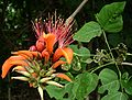 Erythrina variegata.jpg