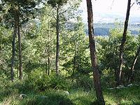 יער אשתאול - יער של אורן ירושלמי.