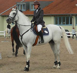 Shagya Arabian Breed of horse