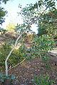 Eucalyptus preissiana - San Luis Obispo Botanical Garden - DSC05907.JPG