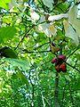 Euonymus verrucosa1pl.jpg
