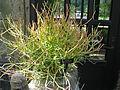 EuphorbiaTirucalli.jpg