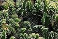 Euphorbia Echinus Cristata in Jardin de Cactus on Lanzarote, June 2013 (2).jpg
