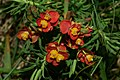 Euphorbia cyparissias o1.JPG