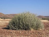 Euphorbia damarana