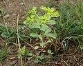 Euphorbia helioscopia-1.jpg