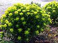 Euphorbia polychroma plant.jpg