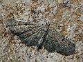 Eupithecia ?trisignaria - Triple-spotted pug - Цветочная пяденица борщевиковая (43072880774).jpg