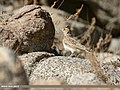 Eurasian Skylark (Alauda arvensis) (25766912718).jpg
