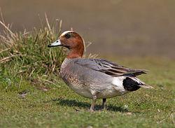 Eurasian Wigeon - male.jpg