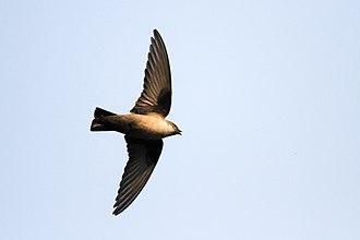 Eurasian crag martin - In flight