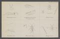 Euryscapus - Print - Iconographia Zoologica - Special Collections University of Amsterdam - UBAINV0274 046 11 0005.tif