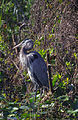 Everglades09(js)-Great Blue Heron.jpg