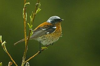 Eversmanns redstart species of bird