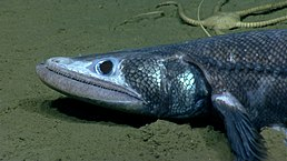 deepsea lizardfish wikipedia
