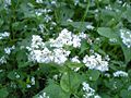 Fagopyrum esculentum flower jp.jpg