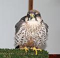 Falcon (3264036960).jpg