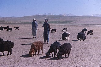 Animal husbandry - The domestication of ruminants, like these fat-tailed sheep in Afghanistan, provided nomads across the Middle East and central Asia with a reliable source of food.