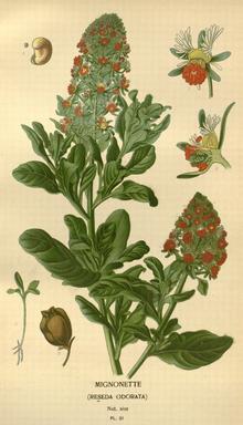 Garten Resede Wikipedia