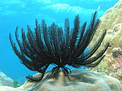 Feather Star 1.jpg