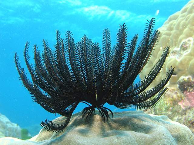 640px-Feather_Star_1.jpg?uselang=fr