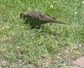 Feeding Mourning Dove.jpg