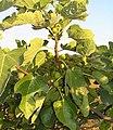 Blackjack mission fig
