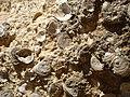 Felsenküste Conil Muscheln 2.JPG